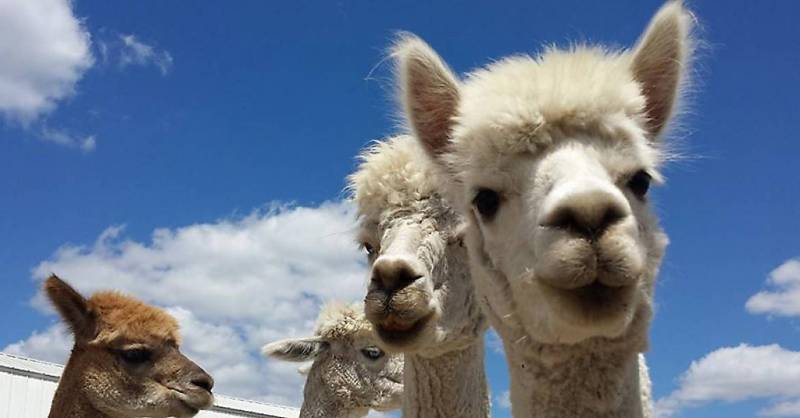 Adventure you say? Alpaca my bags.