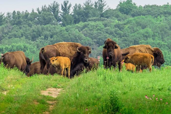 An Illinois Home Where the Buffalo Roam