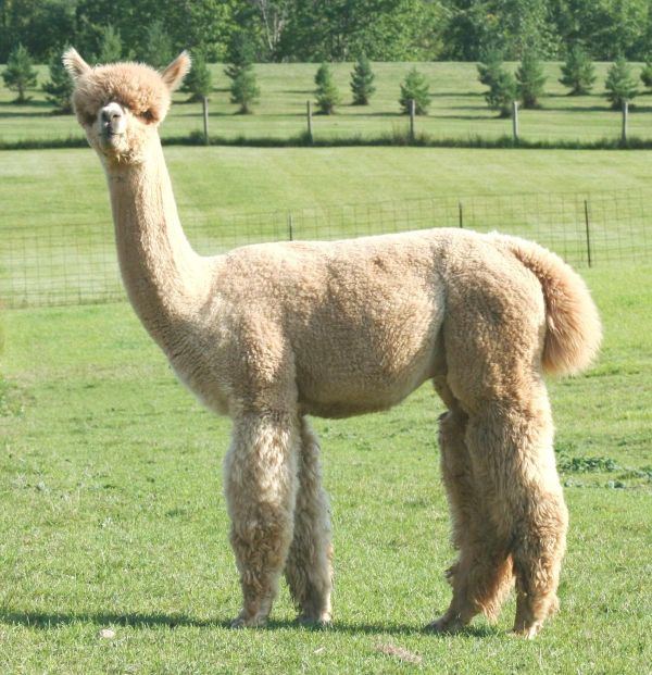 West Wind Alpacas